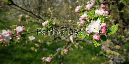 apple tree blossom white pink in
