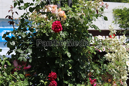 red roses in the garden of