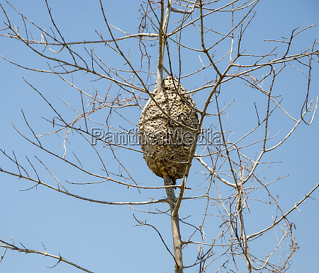 an arboreal termites nest covering tree
