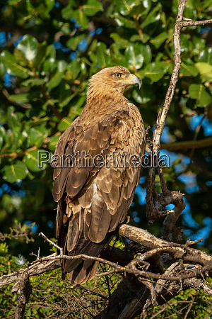 steppe eagle facing right on sunlit