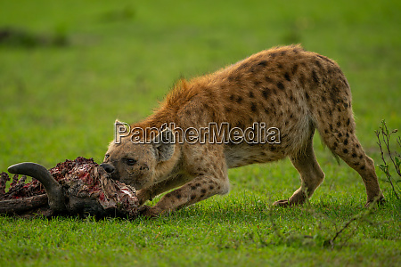spotted hyena bends to chew wildebeest