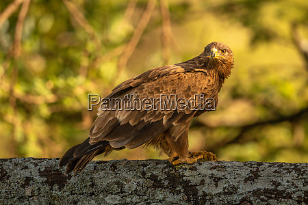 steppe eagle with catchlight perched on