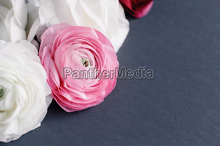 white and pink ranunculus flowers on
