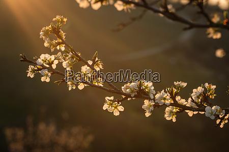 apple tree blossom in springtime