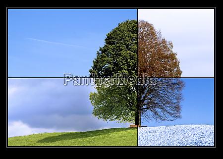 linden tree in changing seasons