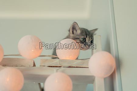cute gray kitten with fairy