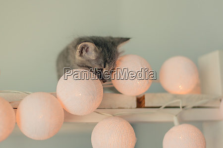 cute gray small cat with fairy