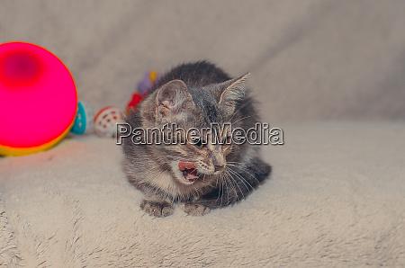 little funny fluffy gray cat licks