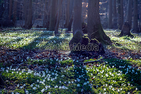spring season forest floor with flowering