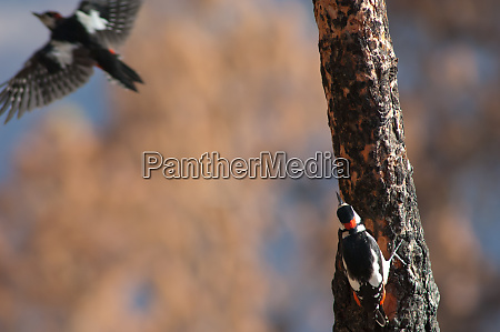 two males of great spotted woodpeckers