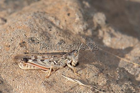 canarian pincer grasshopper calliptamus plebeius on