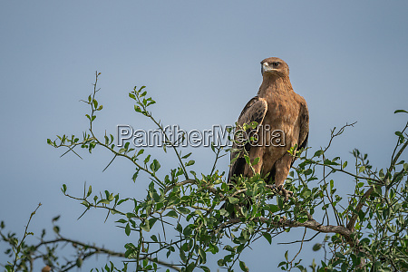 tawny eagle in tree under blue