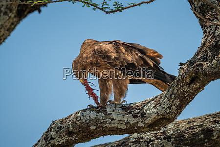 tawny eagle on branch rips prey