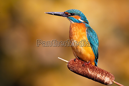 tense common kingfisher male observing from