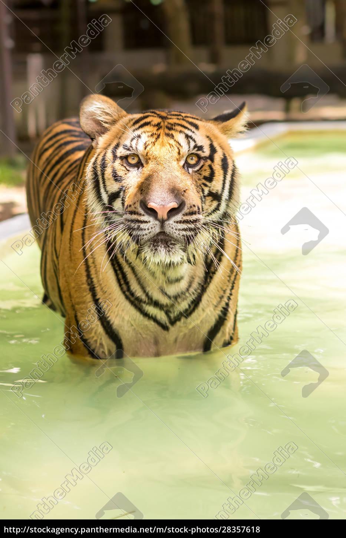 bengal, tiger, , an, incredible, animal, of - 28357618