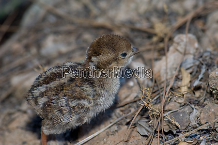 chick of red legged partridge in