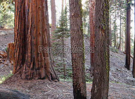 closeup of beautiful redwood trees in