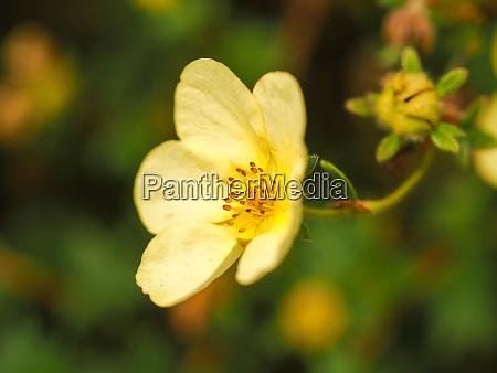 closeup of a pretty yellow potentilla