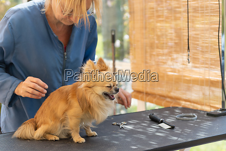 chihuahua dog is ready for grooming