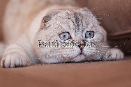 funny cats with big blue eyes
