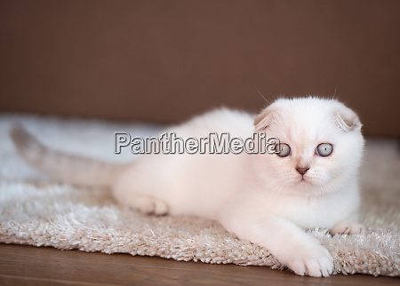 a purebred kitten relaxes on a