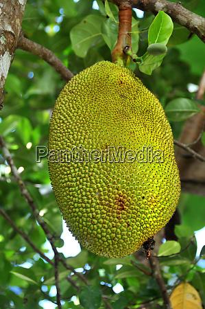 jackfruit in the philippines
