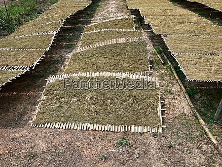 tobacco crop to dry