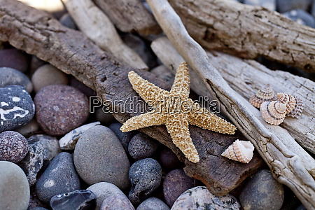 pebble beach still life with starfish