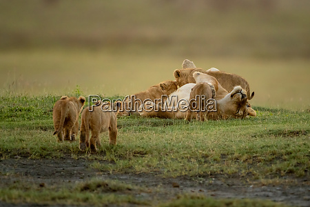 two cubs approach lioness nursing on