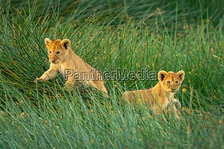 two lion cubs lie in long