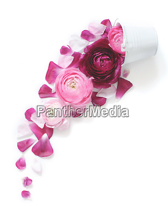 pink ranunculus flowers falling from a