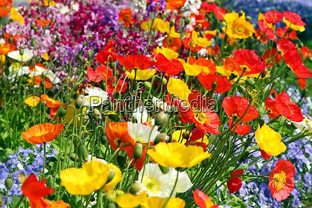 colorful field poppy flowers and myosotis