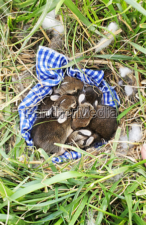 nest of newborn wild rabbits on