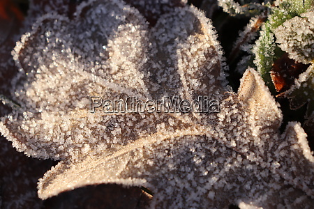 frosted oak leaf surface texture frost
