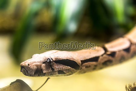 boa constrictor a species of large