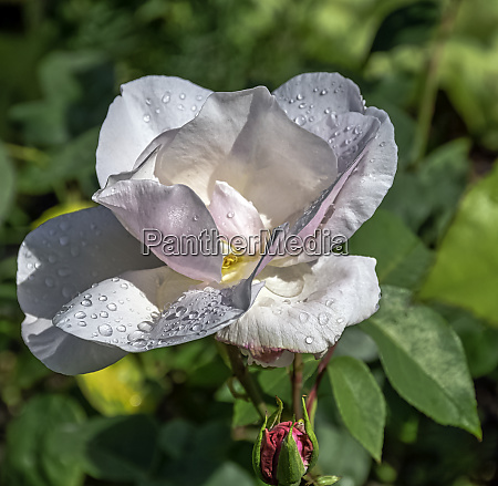 rose pauls early blush known as