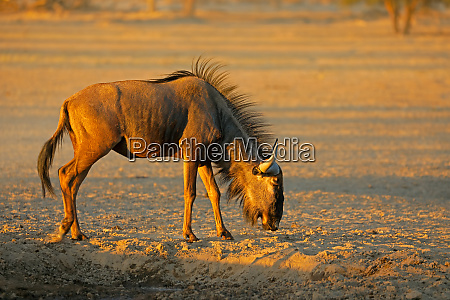 blue wildebeest in arid kalahari