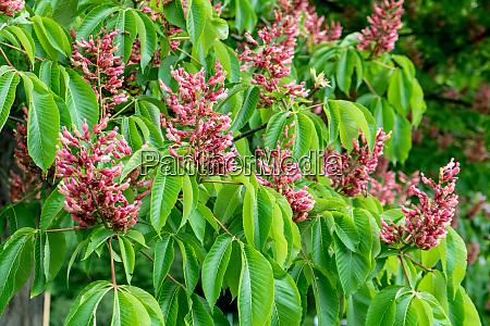 red flowering horse chestnu