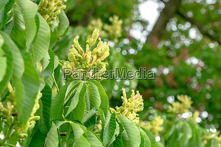 flowering horse chestnut