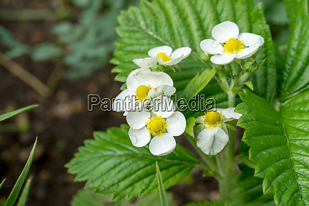 flowers and leaves of wild strawberry