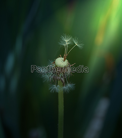 dried dandelion on a green background