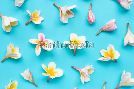 plumeria or frangipani flower on blue