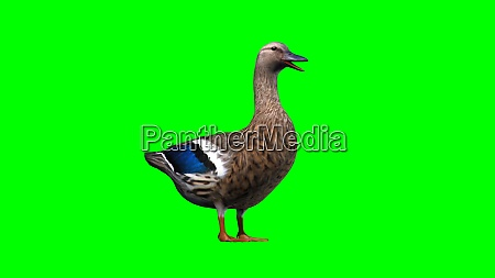 duck on green background