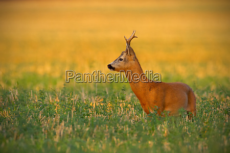 alert roe deer buck standing on