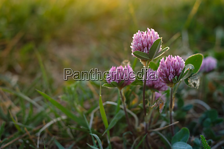 clover with flower in back lit