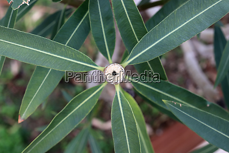 cropped olive tree with long leafs
