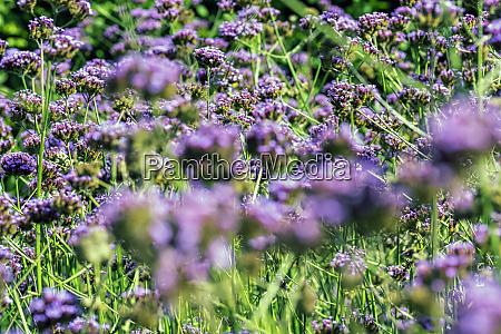 verbena bonariensis known as purpletop clustertop