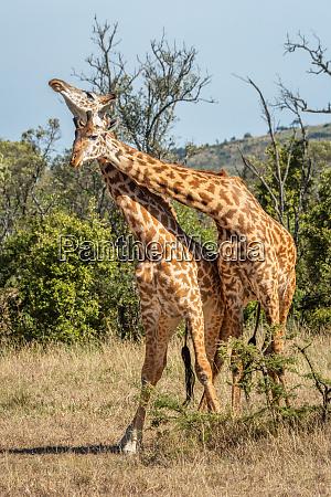 two masai giraffe fight in sunlit