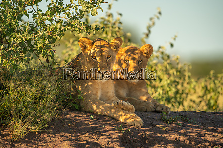 two lionesses lie by bushes eyeing