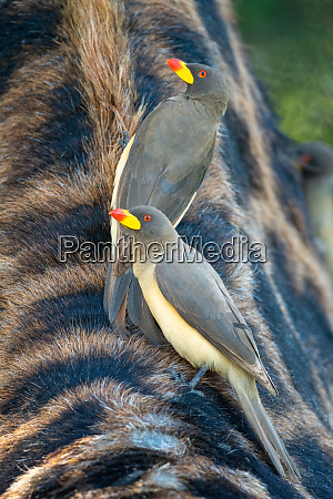 two yellow billed oxpecker standing on